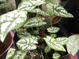 green and white caladium